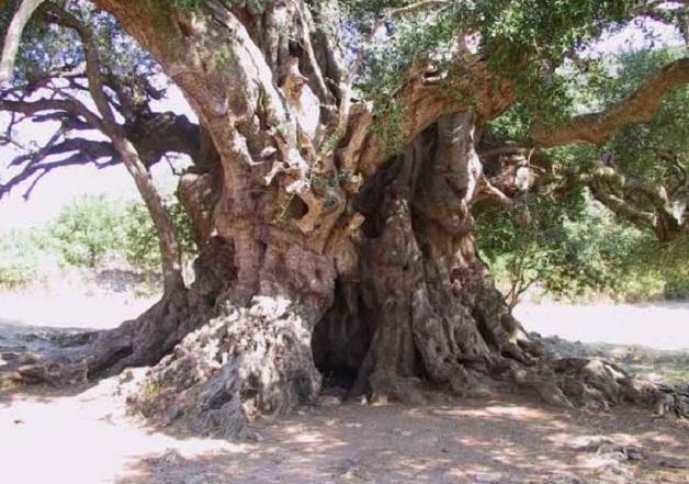 Самые древние сохранившиеся в мире деревья, 25 фото