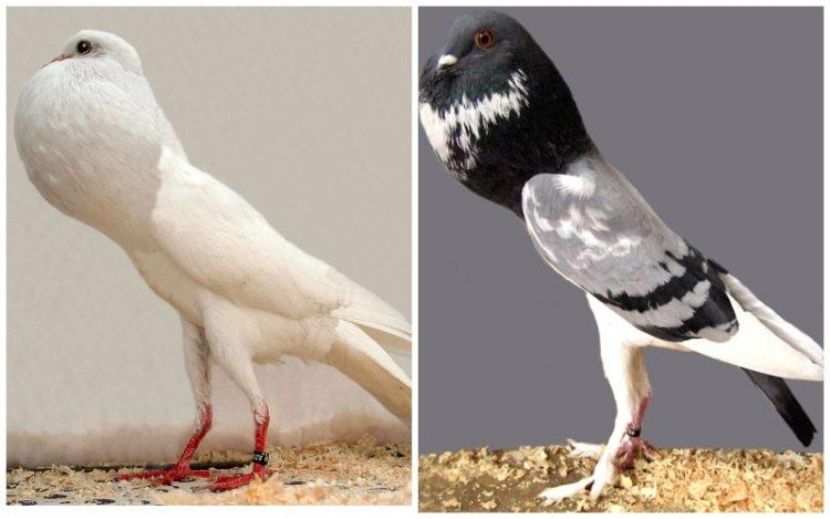 Brunner Pouter Pigeon