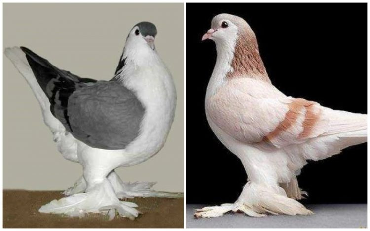 Lahore Pigeon