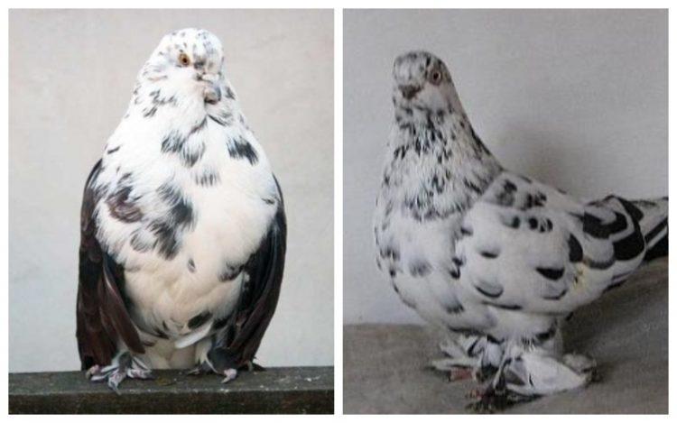Мурый голубь