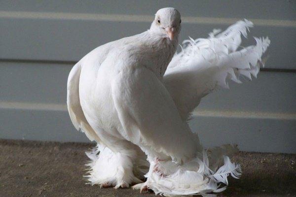 Эльбинский белоголовый голубь