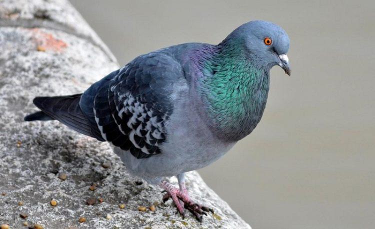 Kabutar Pigeon