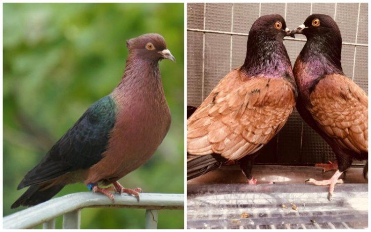Archangel Pigeons